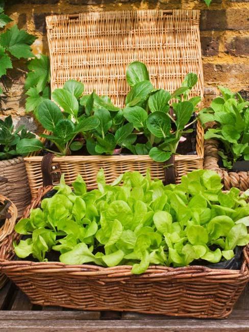 Zielone zioła rosnące w wiklinowych doniczkach