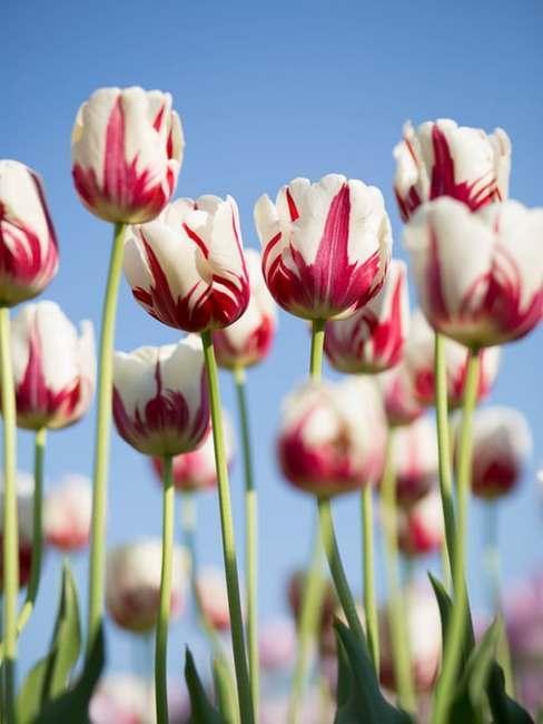 Rosnące różowo-białe tulipany na świeżym powietrzu