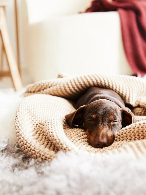 Brązowy jamnik leżący pod beżowym, pledowym kocem na białym dywanie