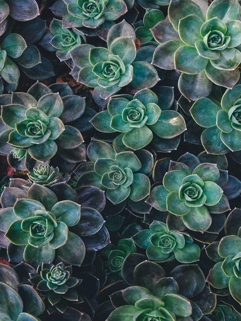 rośliny eszewerii