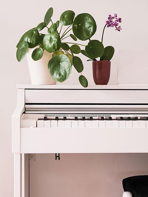 Kwiat pieniążek na białym pianinie