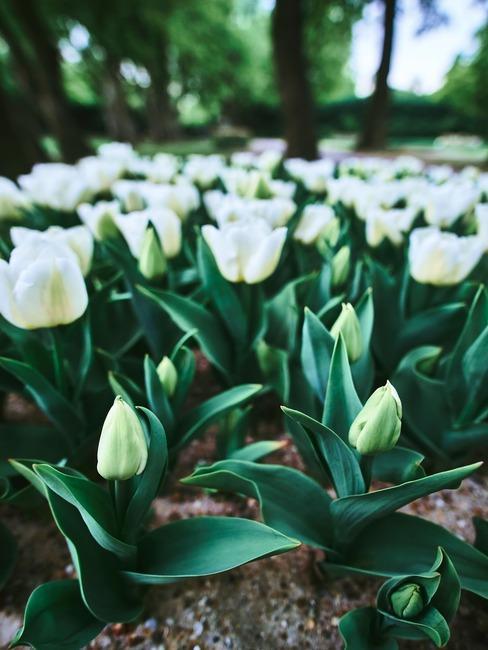 Pole tulipanów Keukenhof