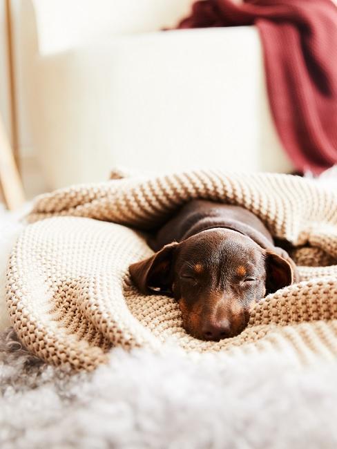 Mały jamniczek śpiący pod kocem