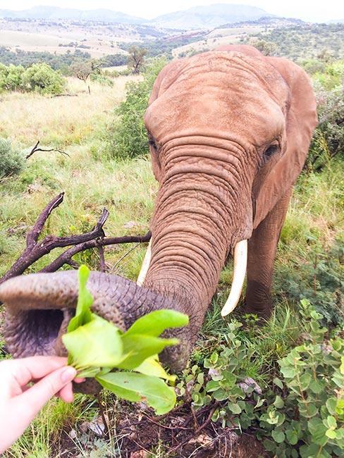 ręka karmiąca słonia