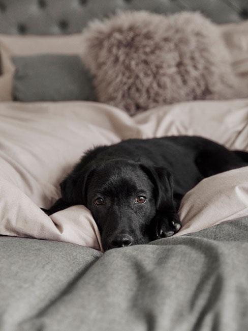 Czarny labrador leżący na miękkim łóżku z szarym pledem