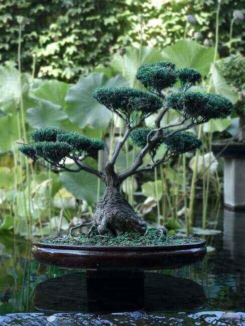 Drzewko bonsai w ogrodzie japońskim