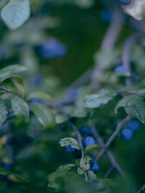 Zbliżenie na krzew borówki amerykańskiej