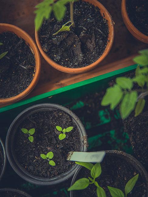 Młode sadzonki w doniczkach