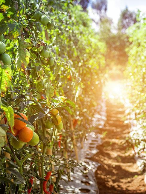 Grządka pomidorów w słońcu