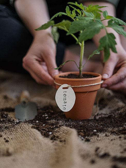 ręce sadzące małą sadzonkę pomidora w doniczce