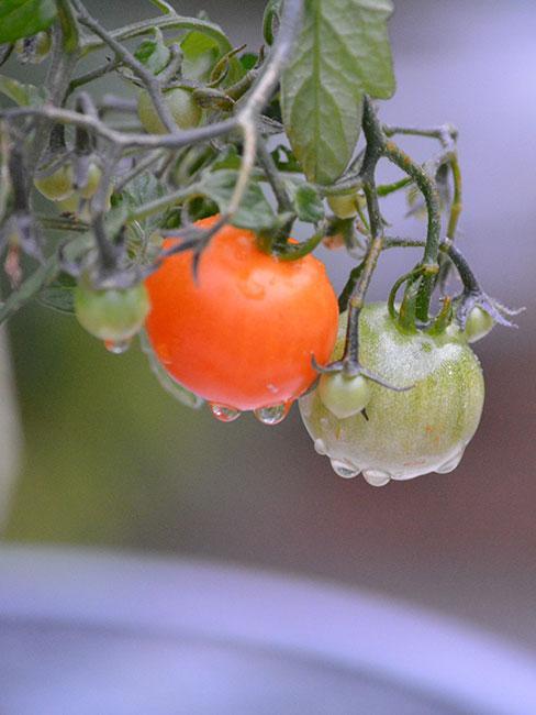Kiść pomidorów na gałązce, z których kapie woda