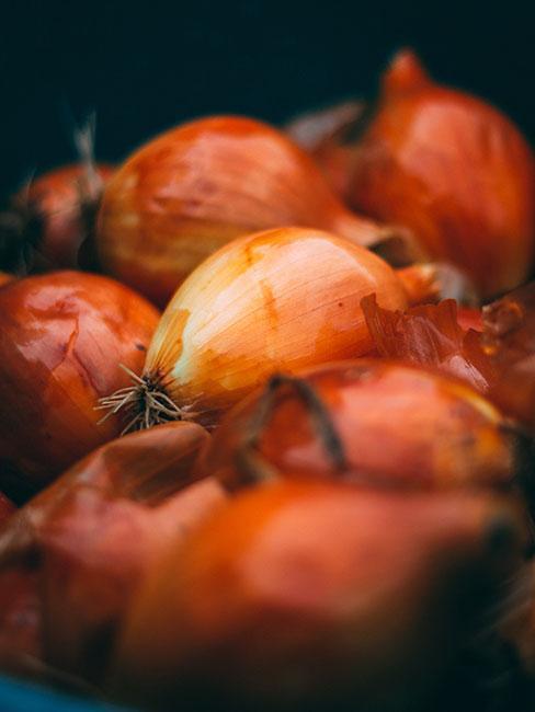 pomarańczowa cebula