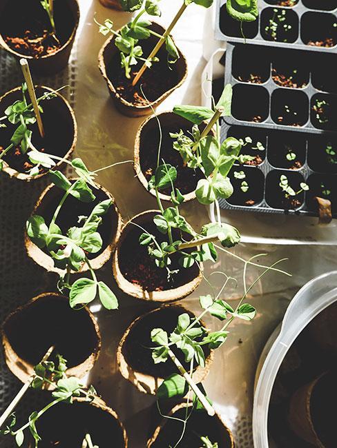sadzonki roślin w małych doniczkach