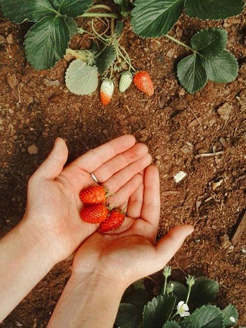Kilka truskawki na dłoniach na tle grządki z truskawkami
