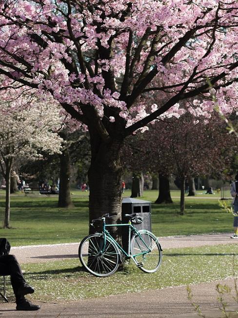 Niebieski rower oparty o kwitnącą jabłoń