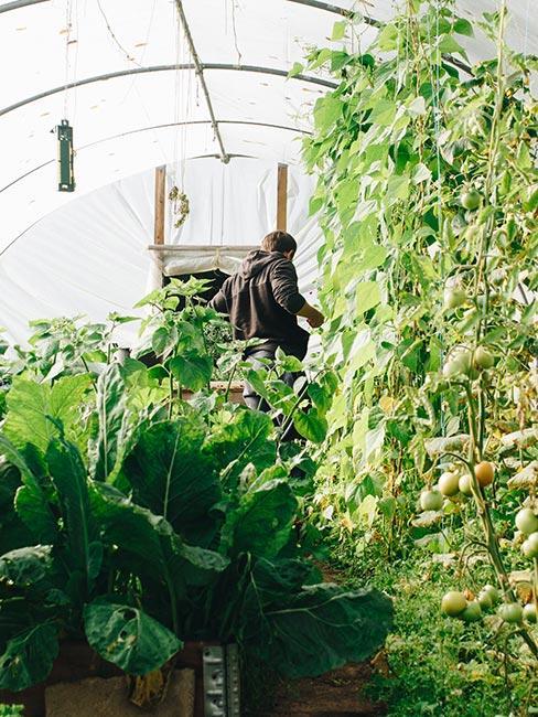Mężctyzna wśród warzyw w małej szklarni tunelowej