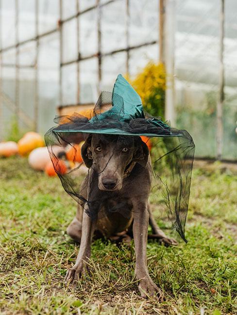 Pies w kapeluszu czarownicy w szklarni