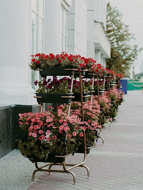pelargonie w kwiaciarni