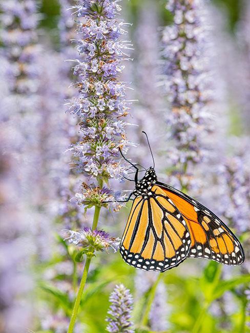 Motyl na kwiatach kocimiętki