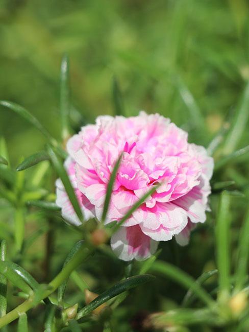 Różowy kwiat portulaki wielkokwiatowej