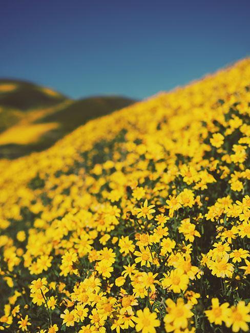 żółte pole sanwitalii
