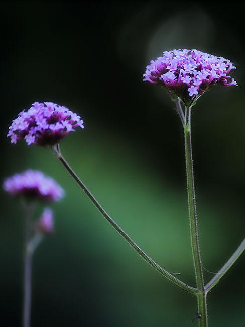 Kwiaty werbeny