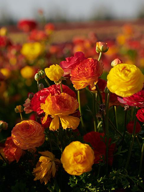 pomarańczowe kwiaty jaskru azjatyckiego