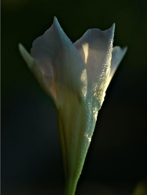 biały kwiat Sundaville