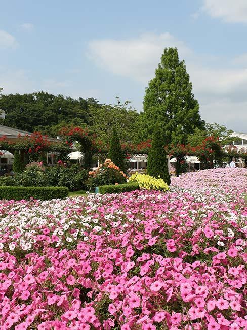 różowe pole funkii