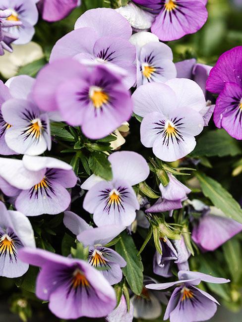 fioletowe bratki