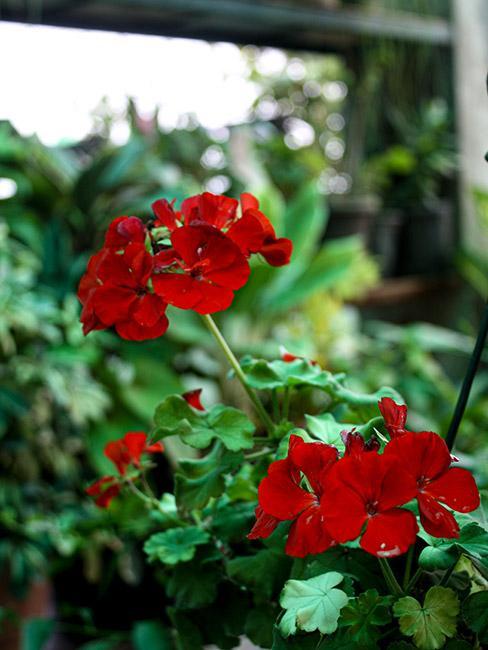 czerwona pelargonia