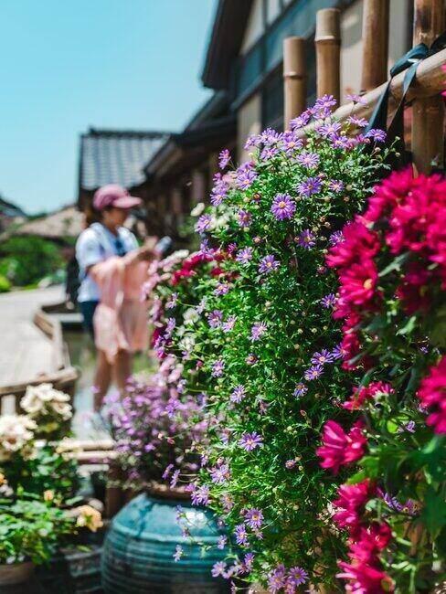 Fioletowe i czerwone kwiaty rosnące przy domu