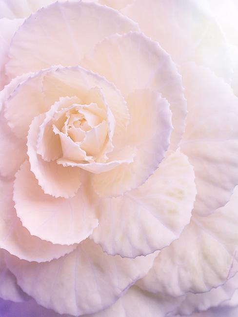 jasnoróżowy kwiat begonii