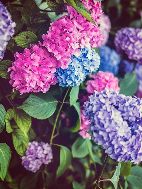 Rożowa i fioletowa hortensja ogrodowa