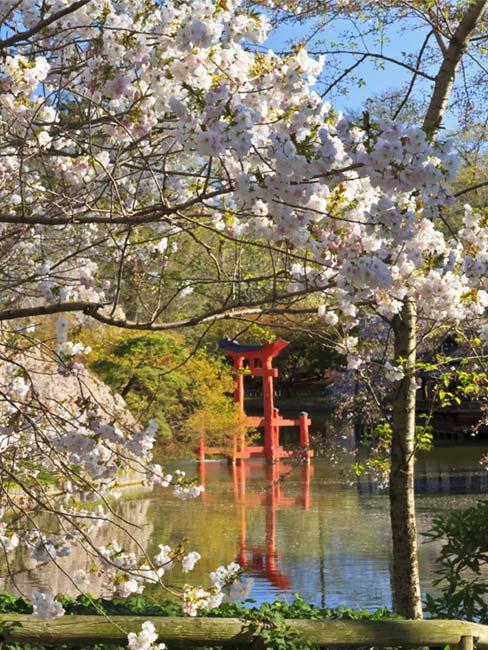 japoński ogród z drzewkiem wiśniowym