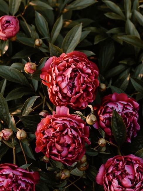 Burgundowe kwiaty