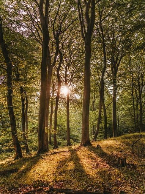 Las ze słońcem w tle