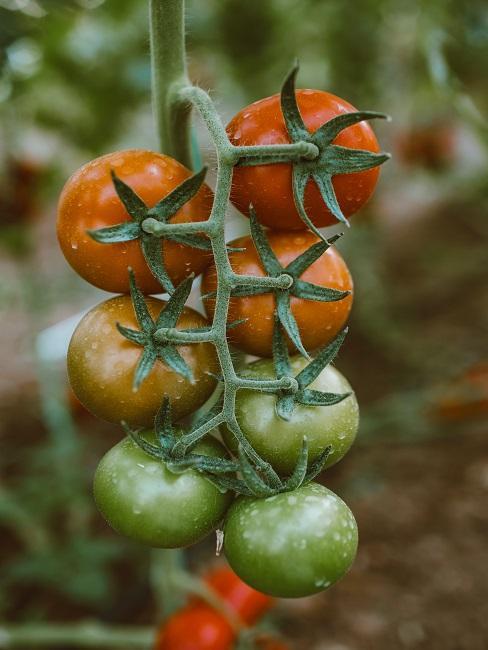 Dojrzewające pomidory w ogrodzie na przetwory z pomidorów