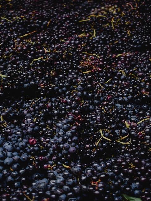 Ciemne winogrona na przetwory z winogron