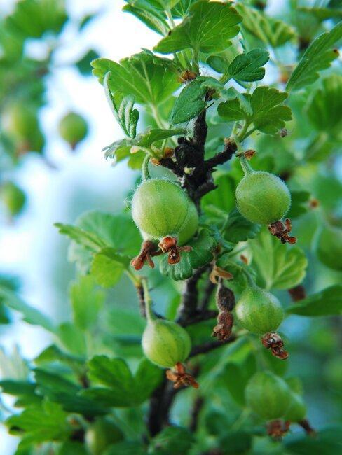 Zielone, niedojrzałe jeszcze owoce agrestu rosnące gęsto na gałęzi