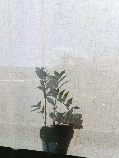 Cień rośliny na tle firanki