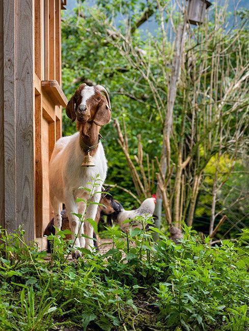 mała koza i kogut w wiejskim ogrodzie