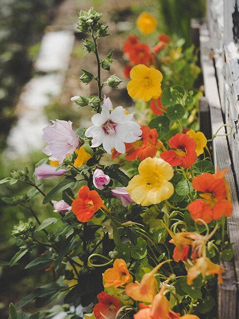 żółto pomarańczowe kwiaty w wiejskim ogrodzie