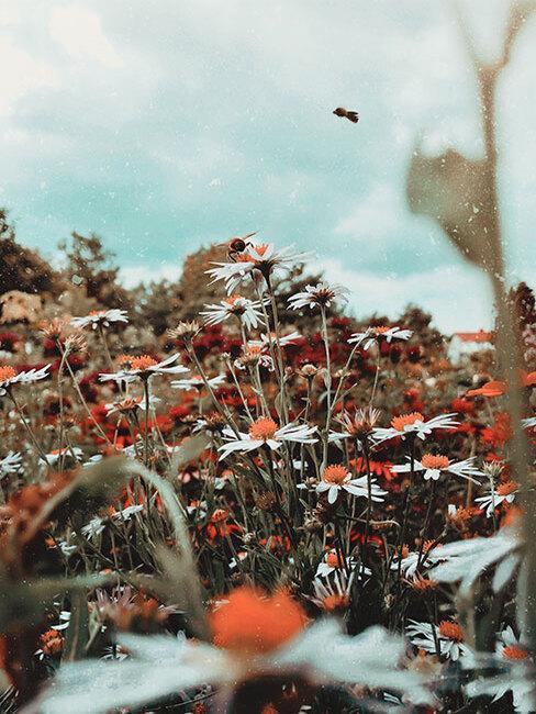 ogród wiejski: łąka pełna rumianków i innych polnych kwiatów