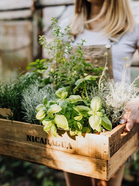 różnorakie zioła w skrzynce