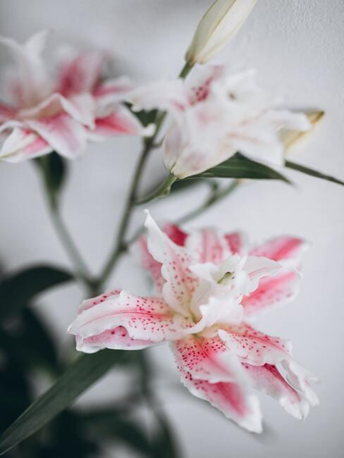 biało różowe lilie na białej ścianie