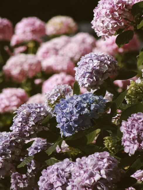 Jesienne kwiaty: hortensja w niebiesko-fioletowo-różowych odcieniach