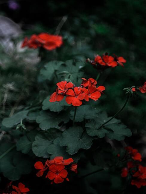 Jesienne kwiaty: czerwona pelargonia