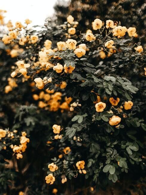 Jesienne kwiaty: krzew kwitnących żółtych kwiatów