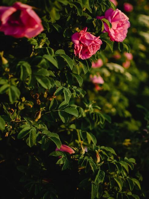 Krzewy dzikiej róży z kwiatami w kolorze różu